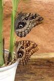 Голубые бабочки morpho в Mindo, эквадоре Стоковые Изображения RF