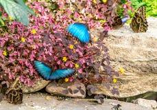 Голубые бабочки Morpho на саде Монреаля ботаническом Стоковое Изображение