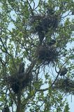 голубые большие гнезди цапель Стоковое Фото