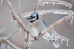 голубые ветви покрыли льдед jay Стоковое фото RF