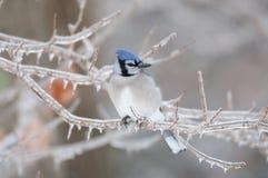голубые ветви покрыли льдед jay Стоковое Фото