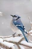 голубые ветви покрыли льдед jay Стоковое Изображение RF