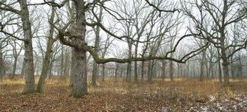 голубые ветви сравнивают зиму валов снежка неба дуба заволакивания замерли пущей, котор Стоковое Изображение