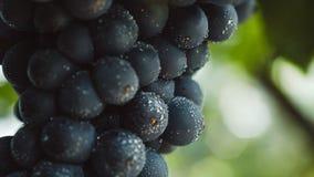 Голубые виноградины для виноделия Виноградины на ветви Виноградины в винограднике виноградники Италии Стоковые Изображения RF