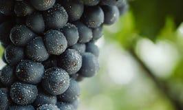Голубые виноградины для виноделия Виноградины на ветви Виноградины в винограднике виноградники Италии Стоковое фото RF