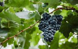 Голубые виноградины для виноделия Виноградины на ветви Виноградины в винограднике виноградники Италии Стоковая Фотография RF