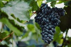 Голубые виноградины для виноделия Виноградины на ветви Виноградины в винограднике виноградники Италии Стоковое Фото