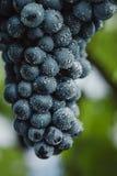 Голубые виноградины для виноделия Виноградины на ветви Виноградины в винограднике виноградники Италии Стоковые Изображения