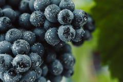 Голубые виноградины для виноделия Виноградины на ветви Виноградины в винограднике виноградники Италии Стоковая Фотография