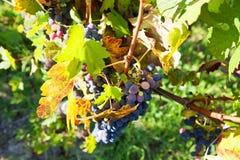 Голубые виноградины на лозе в органических виноградниках Пьедмонт, Италия стоковые изображения rf