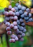 голубые виноградины темноты группы ветви Стоковая Фотография RF