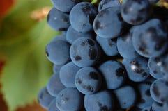 голубые виноградины Стоковые Фото