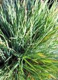 голубые волосы травы Стоковые Изображения
