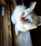 Голубые глазы белизны кота Стоковое фото RF