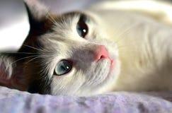 Голубые глазы белого кота Брайна большие стоковая фотография rf