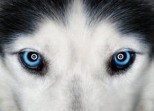 голубые глазы осиплые Стоковые Фотографии RF