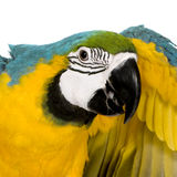 голубые детеныши желтого цвета macaw стоковая фотография