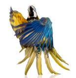 голубые детеныши желтого цвета macaw стоковые фотографии rf