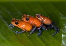 голубые джинсыы лягушек дротика отравляют клубнику Стоковые Фотографии RF