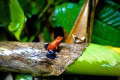 голубые джинсыы лягушки Стоковые Фотографии RF