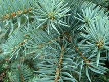 Голубые елевые хворостины r стоковая фотография rf