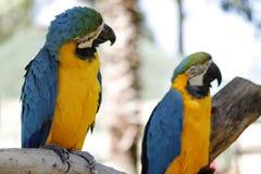 Голубые и желтые попугаи ары Стоковые Изображения RF