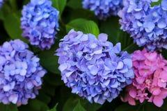 Голубые и розовые гортензии Стоковая Фотография RF