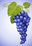 голубые листья зеленого цвета виноградины группы бесплатная иллюстрация