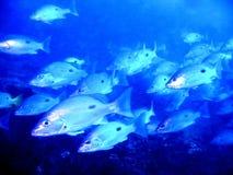 голубые луцианы влияния стоковое изображение rf