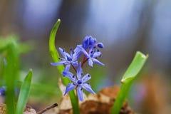 Голубые нежные цветки squill и бутоны, bifolia Scilla в ярких лучах солнца весны, природы будя, макроса предпосылки стоковое фото rf