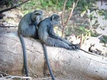 голубые обезьяны Стоковые Изображения