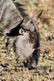 голубые одичалые wildebees Стоковое фото RF