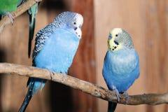 голубые пары budgerigars Стоковое Фото