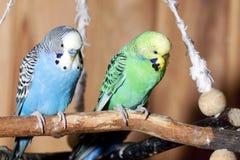 голубые пары budgerigars Стоковые Изображения