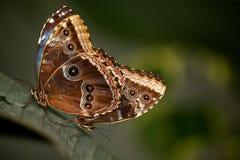 голубые пары morpho butterflys Стоковые Изображения