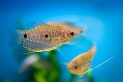 Голубые рыбы осфронемовых Стоковая Фотография
