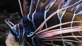 Голубые рыбы приключения в аквариуме сток-видео