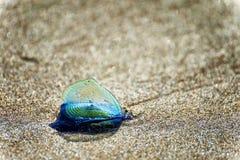 Голубые рыбы студня ветрила на песчаном пляже стоковая фотография rf