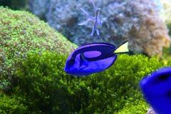 голубые рыбы Стоковые Изображения RF