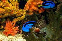 голубые рыбы Стоковое Изображение RF