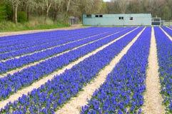 голубые рядки гиацинтов Стоковые Изображения