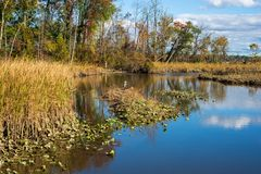 Голубые сельди в болоте на Потомаке стоковое фото rf