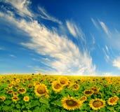 голубые солнцецветы неба поля Стоковое Изображение RF