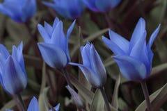 голубые тюльпаны Стоковое Изображение
