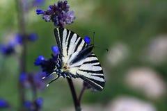 голубые цветки бабочки Стоковые Изображения RF