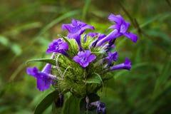 Голубые цветки весной стоковые изображения rf