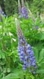 Голубые цветки в прогулке следа стоковые изображения