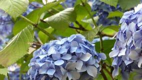 Голубые цветки гортензии развевая предпосылка крупного плана акции видеоматериалы