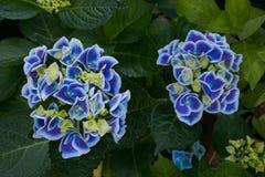 Голубые цветки гортензии hortensia в саде Стоковые Изображения RF