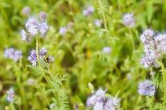 Голубые цветки на поле под яркой весной греют на солнце макрос селективного фокуса снятой с отмелым DOF Стоковое Изображение